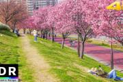 海外「日本の人は独特の美しさにどれだけ気づいてるんだろう…」桜の時期の隅田川沿いの景色を映した動画に驚き
