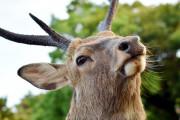 韓国人「コロナ後の日本の奈良の鹿の近況をご覧ください・・・」