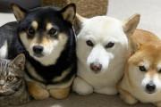 外国人「柴犬3匹と仲良しすぎる日本の猫が凄くキュートだ!」