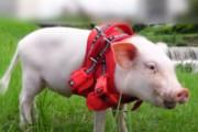 【韓国の反応】100日後に食べられる豚。動画のユーチューバー「真実はわからない。」韓国の反応「お金を稼ぐために刺激的なコンセプトを選び、生命の大切さ云々する陰気な日本観。」