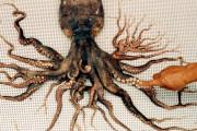 「クトゥルフだ!!」日本で発見された96本の足を持つタコがすごい【海外の反応】
