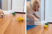 嫌いなおもちゃに攻撃を加え続けるゴールデンレトリバーの子犬ちゃん