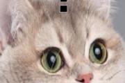 【海外の反応】イギリス人「日本人はネコが