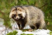 外国人「タヌキは日本固有の動物に分類されるらしいぞ!」