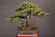 天皇から天皇へ、約500年受け継がれている盆栽に海外が驚愕【海外の反応】