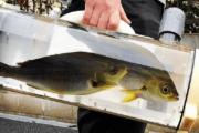【中国の反応】【朗報】日本人がお魚散歩バッグを開発w「うちの父親が好きそうw」
