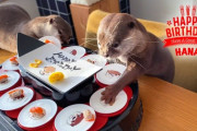 カワウソ・ハナちゃん2歳の誕生日!「回転寿司www」「カワイイ鮭ドロボーw」海外の反応