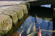 海外「日本とかいう国、あまりにも清潔すぎる・・・」鯉が用水路を泳ぐ様子に外国人が驚愕!!