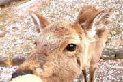 海外「30ヶ国以上を旅したことがあるけど、別の惑星のように思えたのは日本だけ」奈良公園の鹿と桜に感動する外国人たち